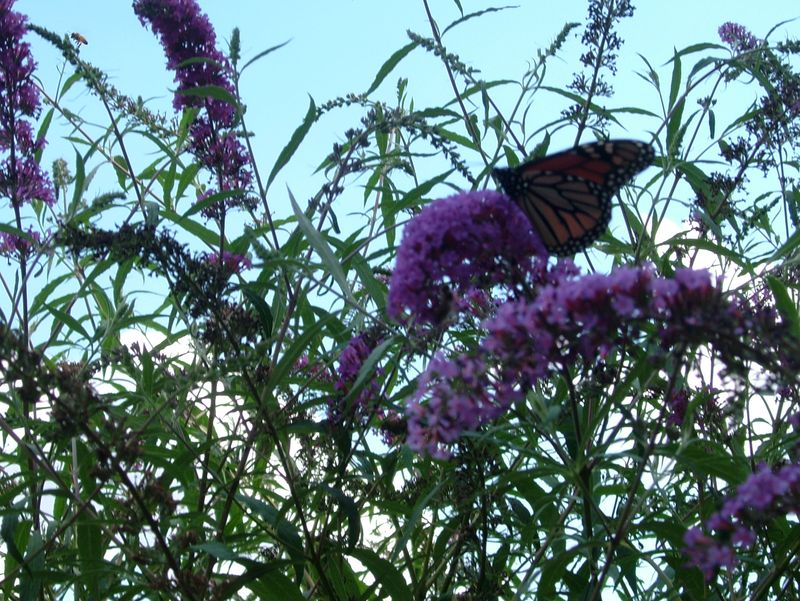 Butterfly bush monarch