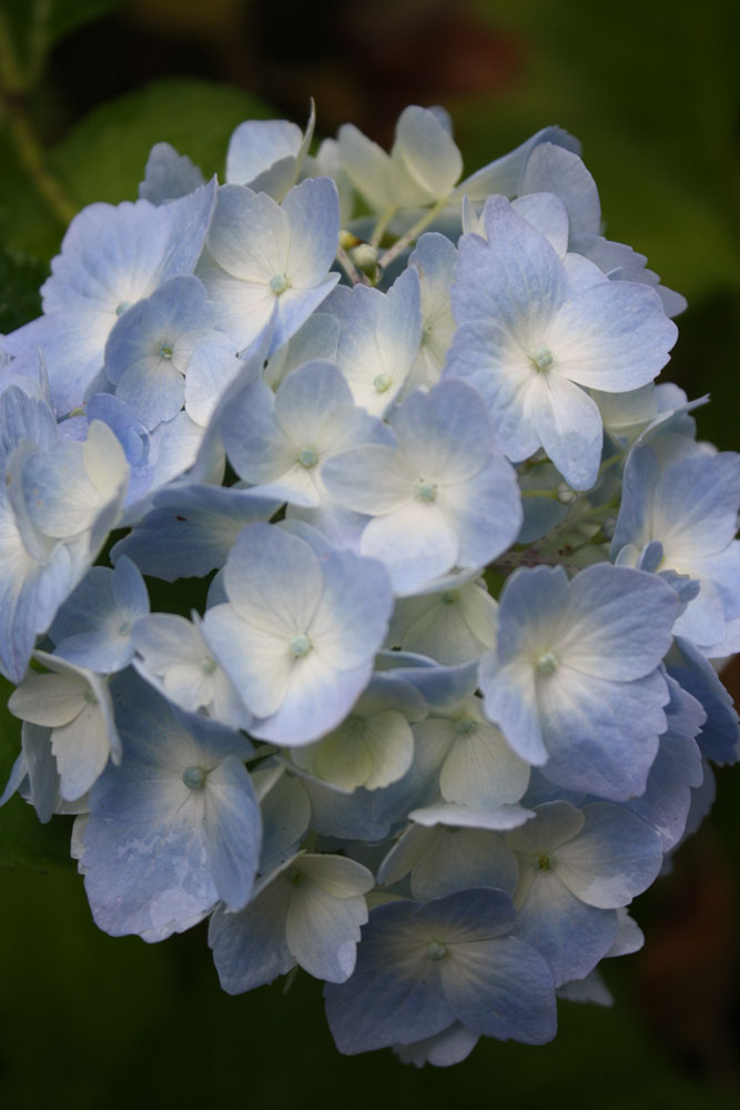 Hydrangea-at-quinault-for-w