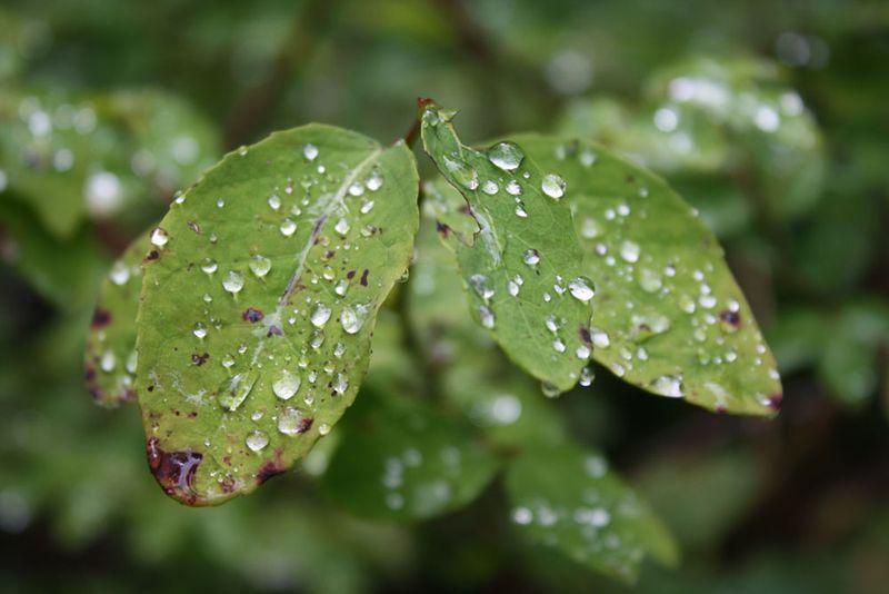Slr-foliage-w-raindrops-for