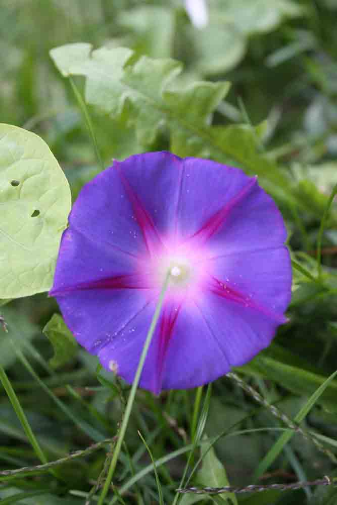 Morning-glory-for-web