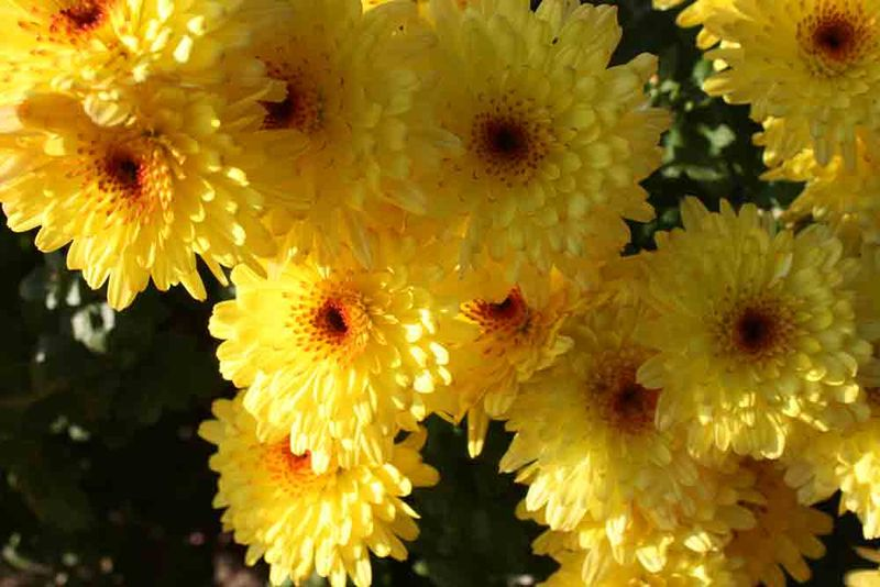 Mums-yellow-for-web