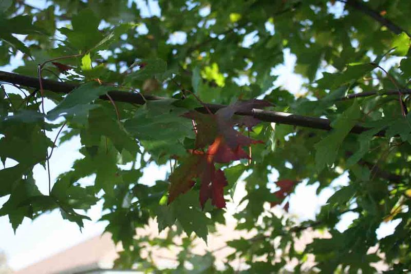 One-maple-leaf-for-web