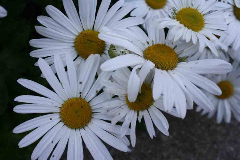 October-daisies-for-web