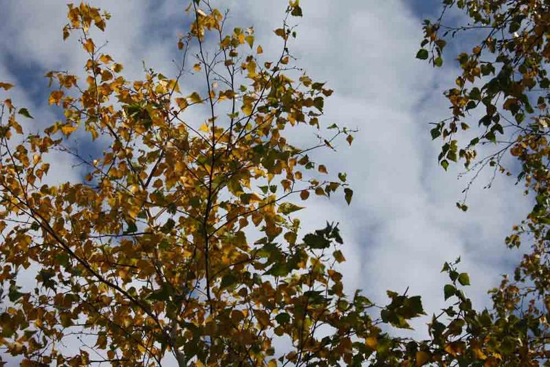 Birch-tree-and-sky-for-web