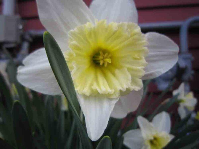 Daffodil-for-web-1