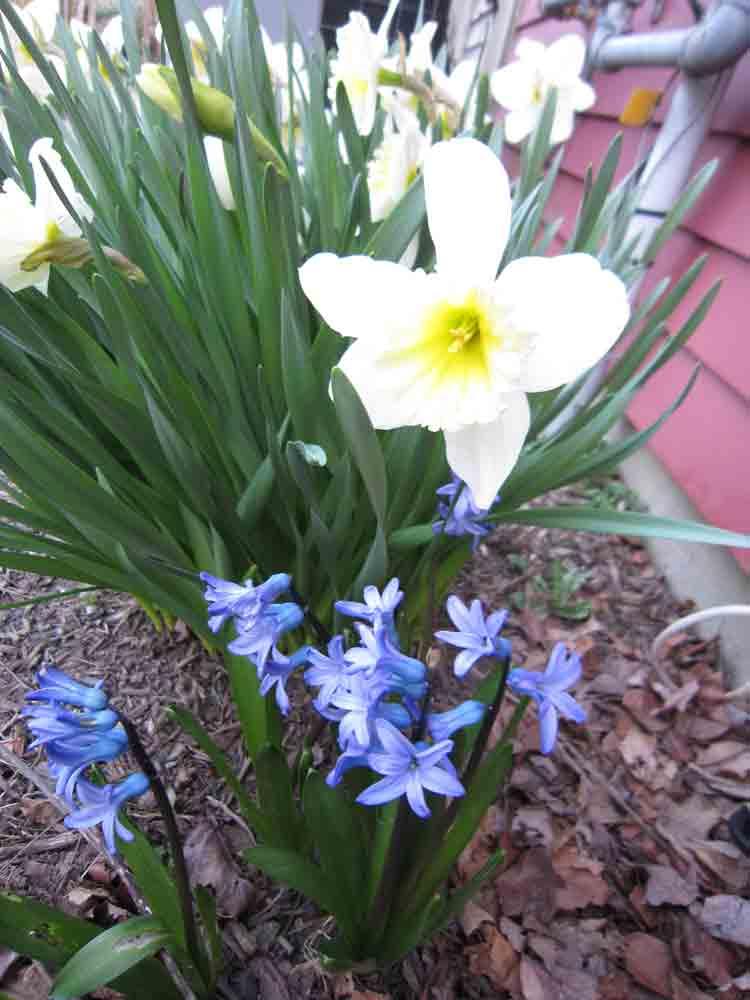 Daffodil-for-web-2