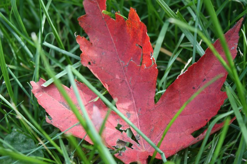 Maple leaf for web