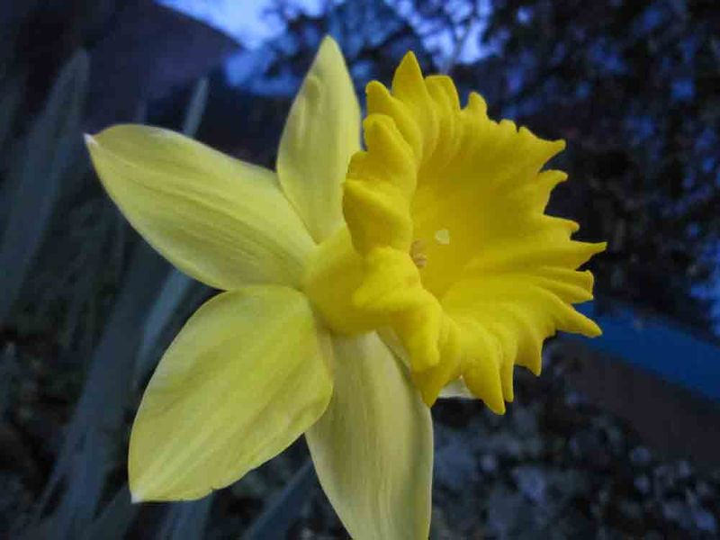 Daffodil-for-web