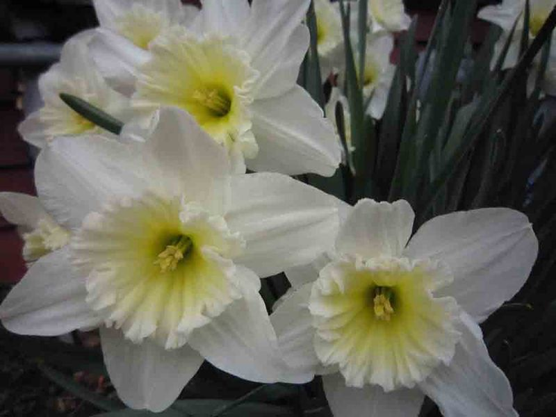 Daffodil-bunch-for-web