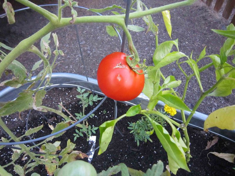First-tomato-for-web-1