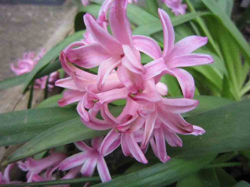 Pink-hyacinths-for-web