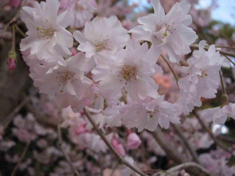 Cherry-blossom-for-web-3-28