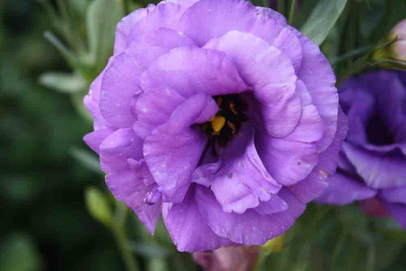 Purple-flower-for-web