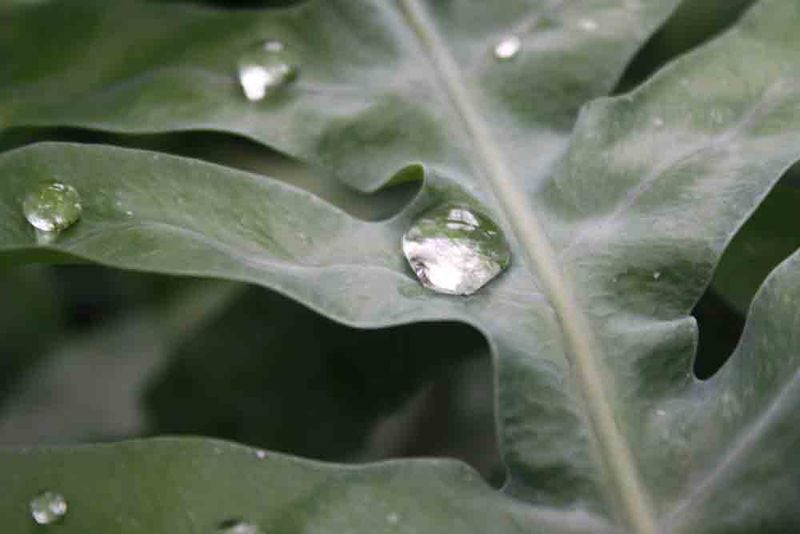 Water-drops-on-leaves-for-web
