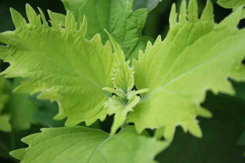 Green-leaves-for-web