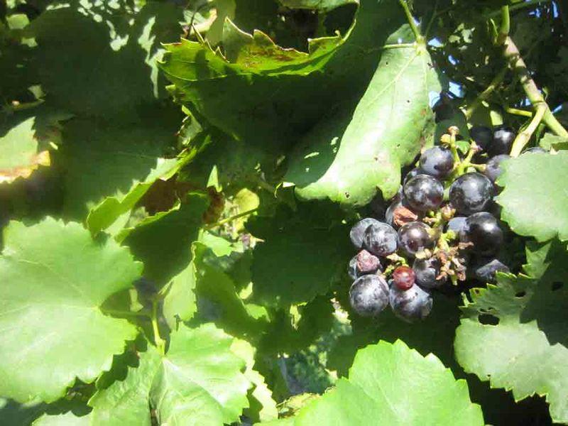 Purple-grapes-for-web