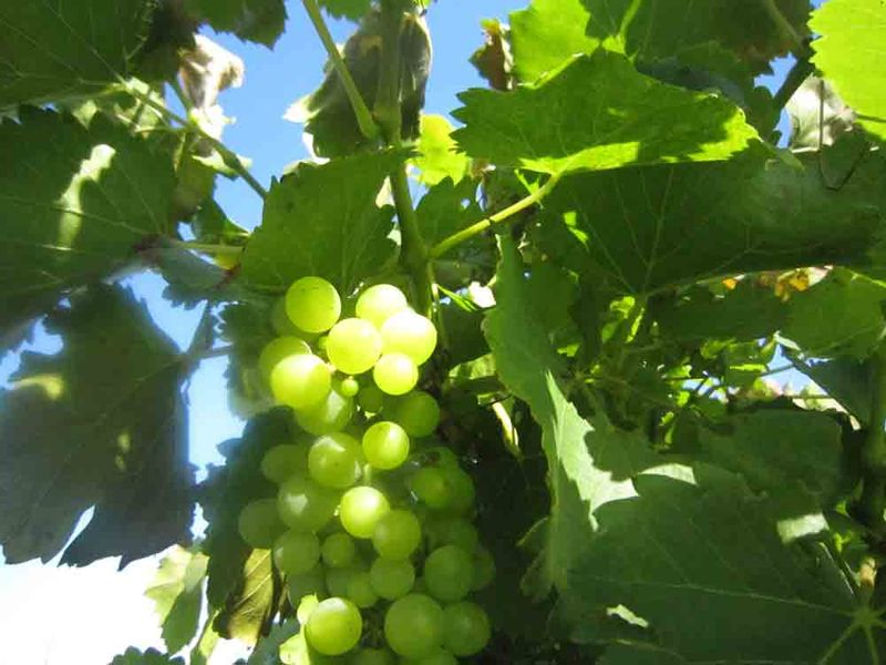 Green-grapes-for-web