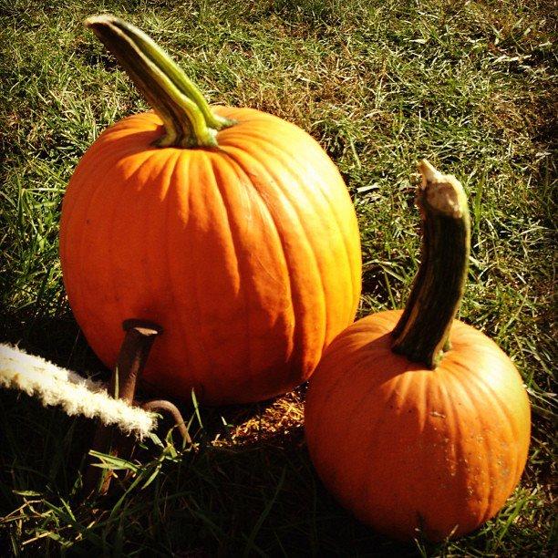 Pumpkins vineyard run