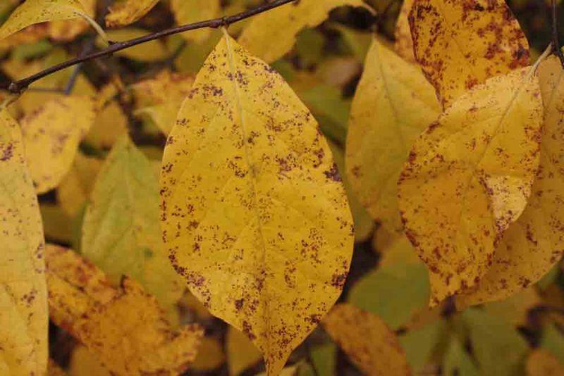 Gold-leaf-for-web