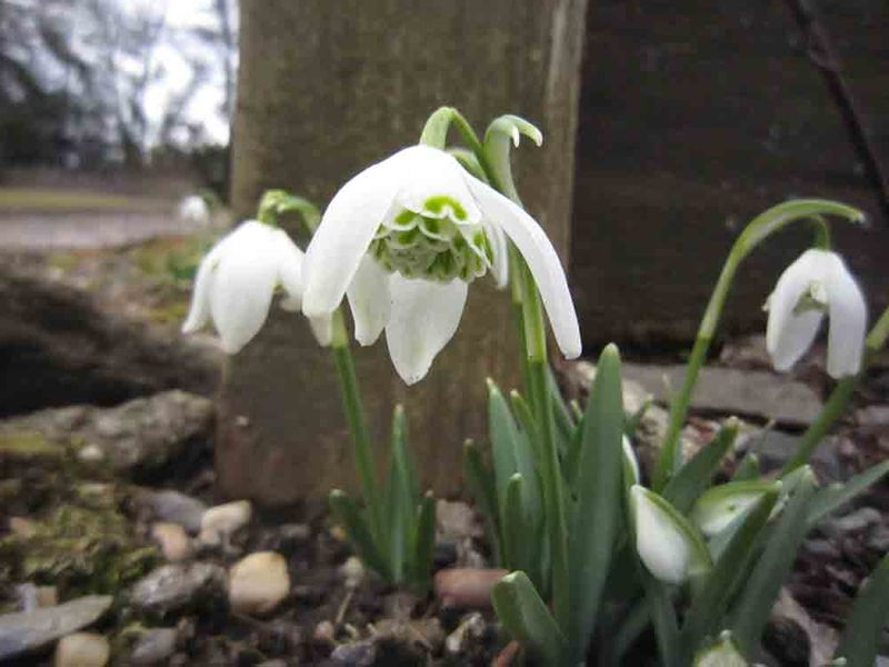 Snowdrops-2-for-web