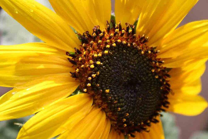 Sunflower-for-web