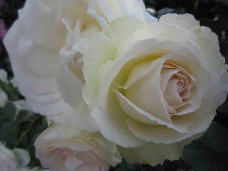 Jessies-roses