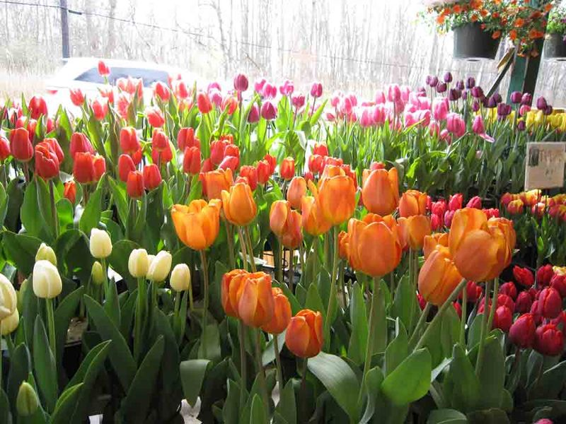 Tulips-for-web