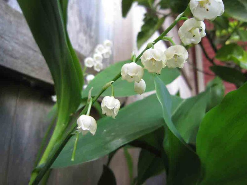 Lily-of-valley-for-web