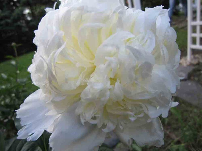 Peony-2-for-web