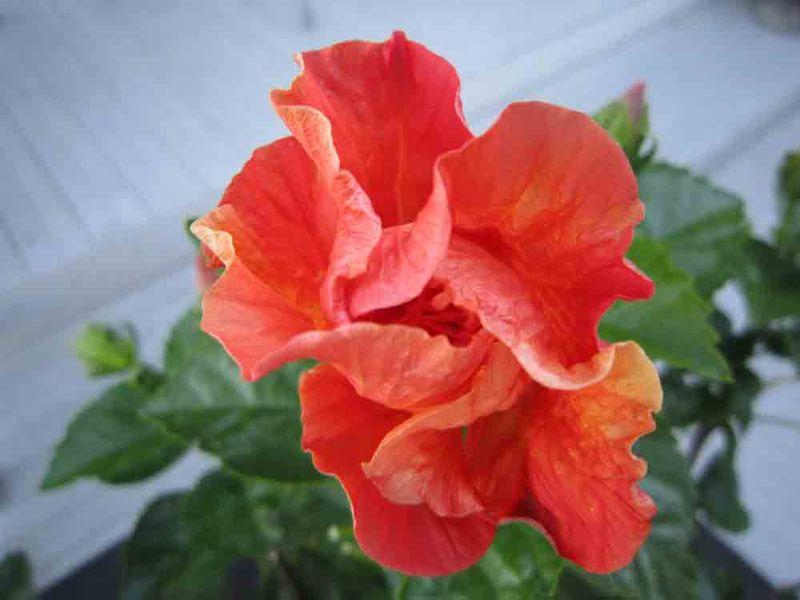 Ornage-flower-for-web