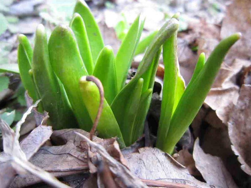Daffodils-3-20-14-2