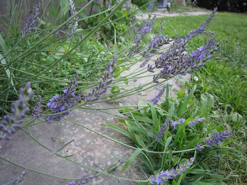 Lavender-for-web
