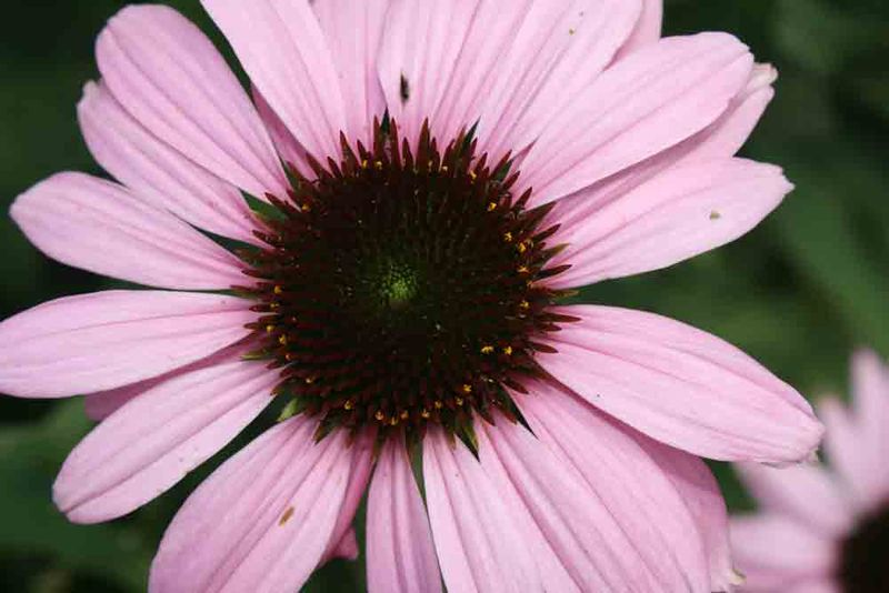 Purple-cone-flower-for-web