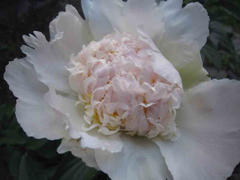 First-peony-for-web