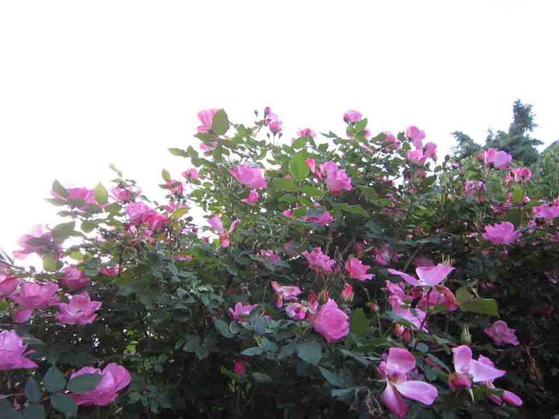 Shrub-rose-brush-for-web