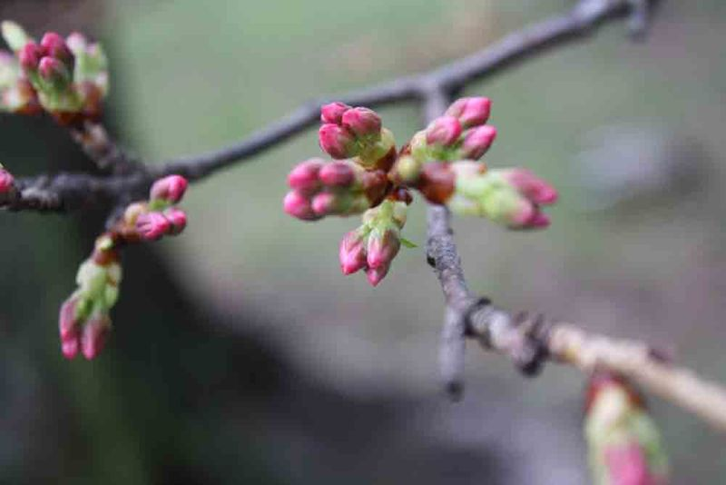 Cherry-buds-1-for-web