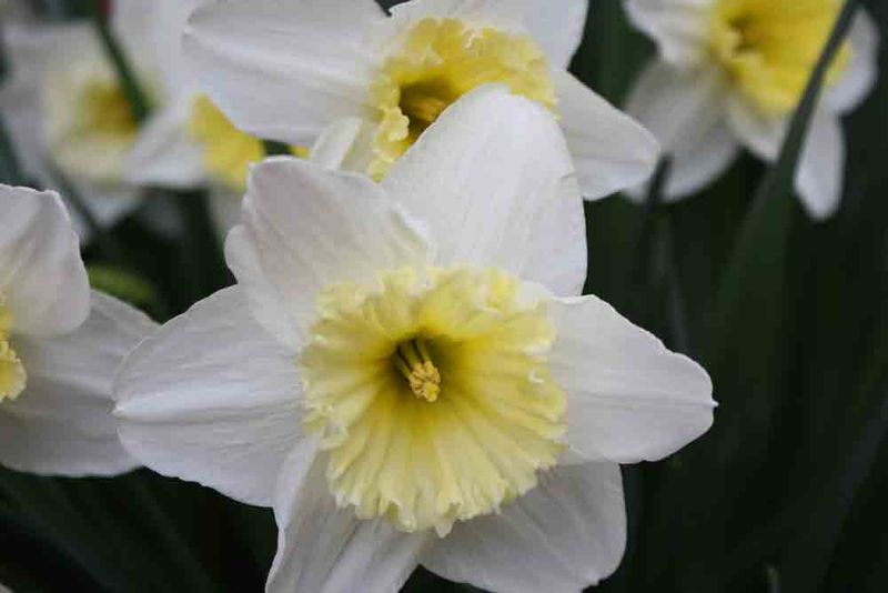 Bushel-of-daffodils-for-web