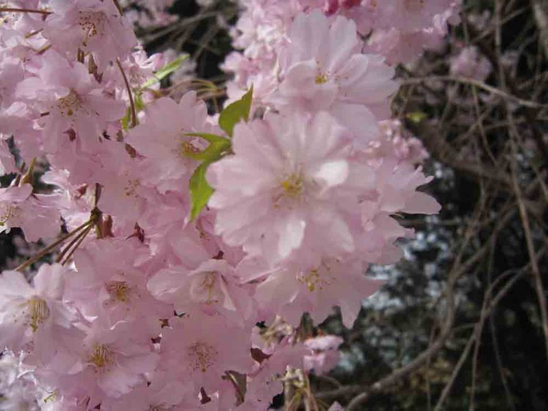 Cherry-blossom-up-close
