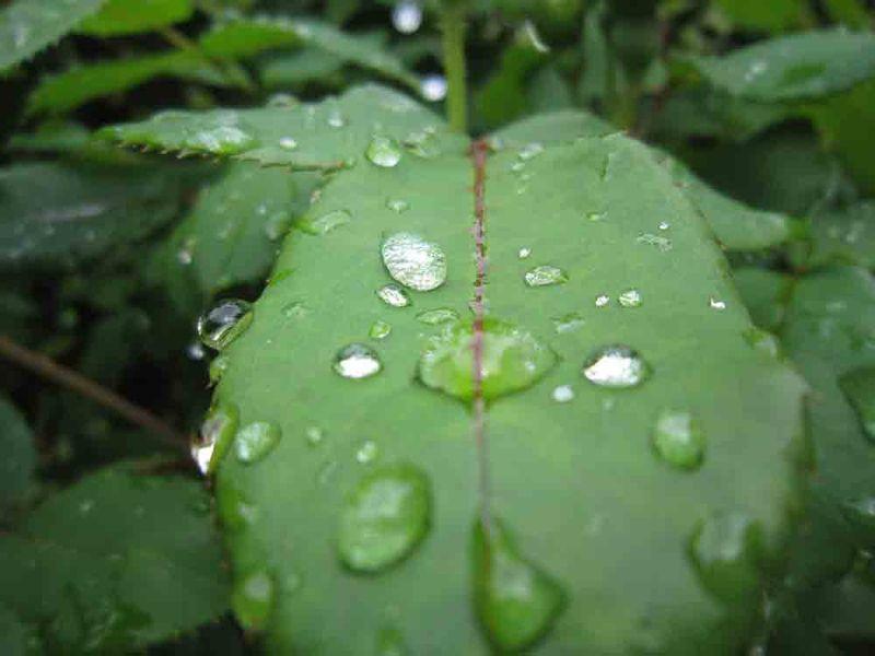Rose-leaves-for-web