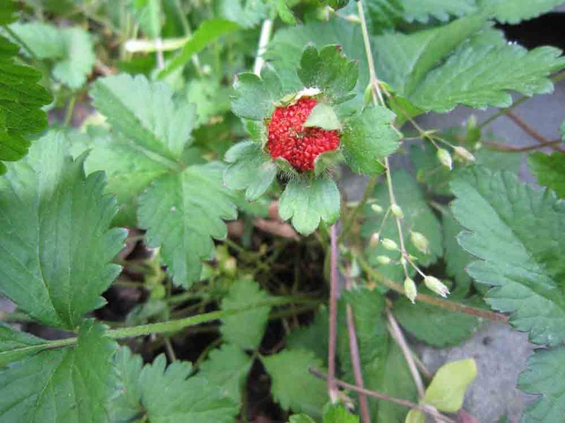 Strawberry-plant-for-web