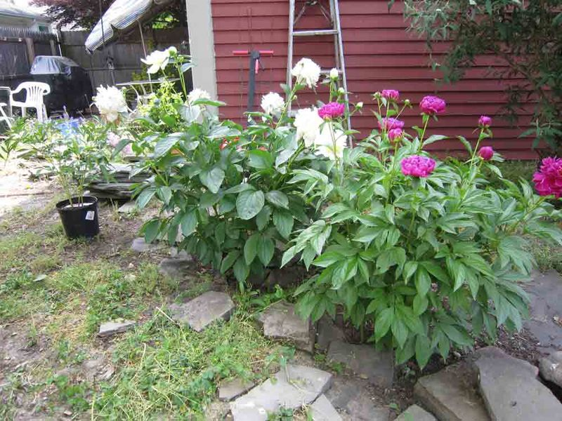 My-row-of-peonies-for-web