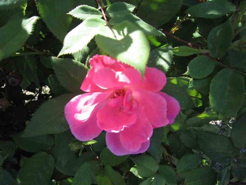 1st-rose-bloom-for-web