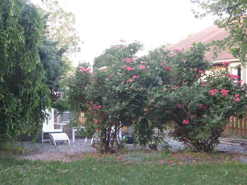 Trimmed-roses-for-web