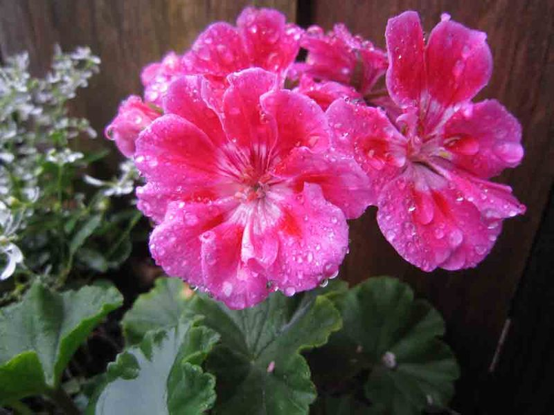 Geranium-for-web