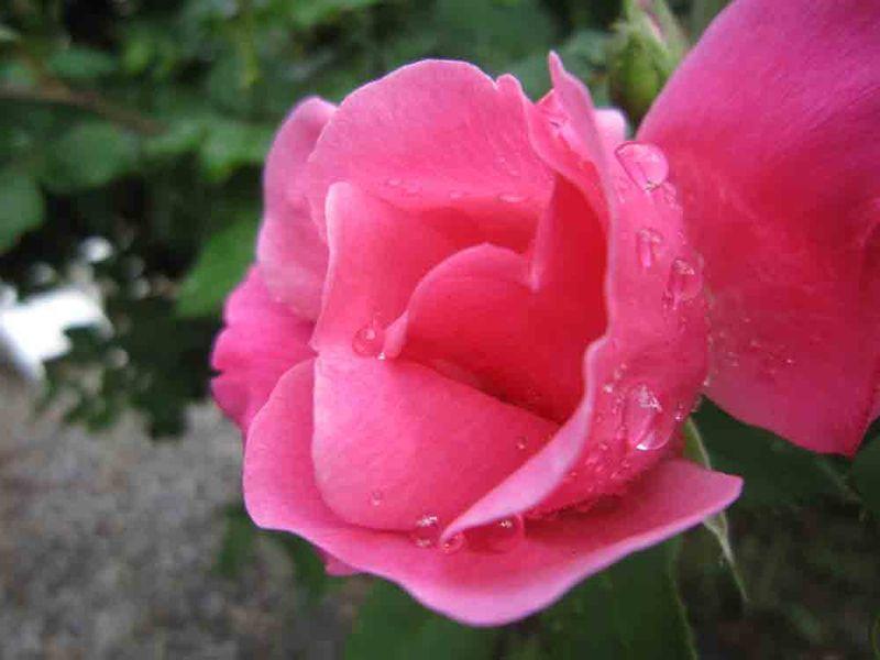 Shrub-rose-for-web