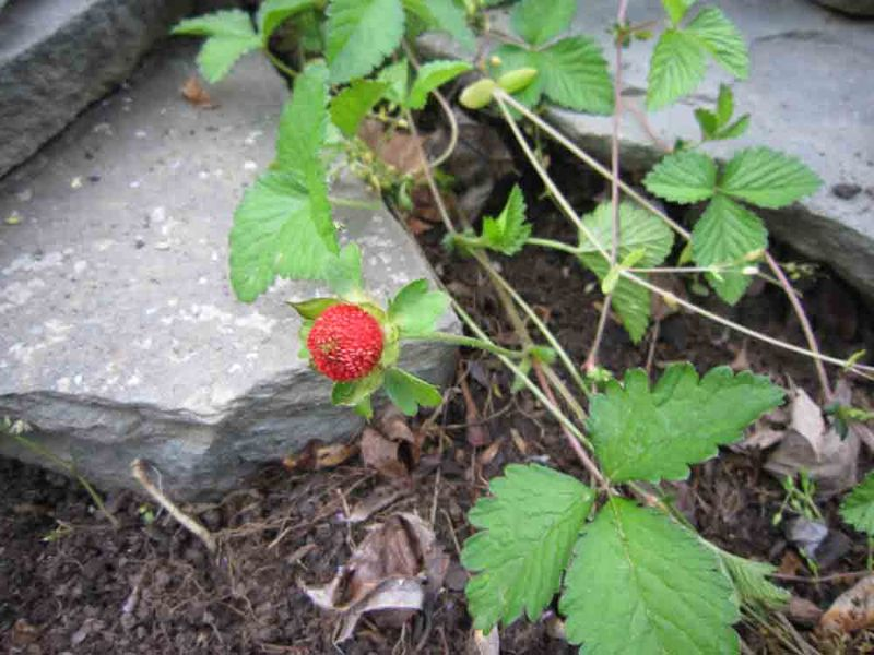 Strawberry-2-for-web