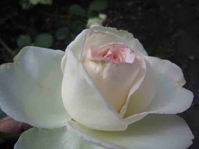 Jessies-rose-for-web